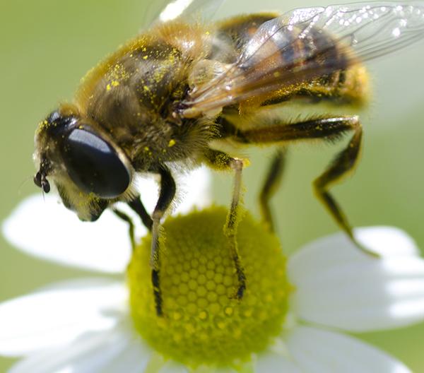 蜂のクローズアップ画像。4K液晶(3840×2160ドット)